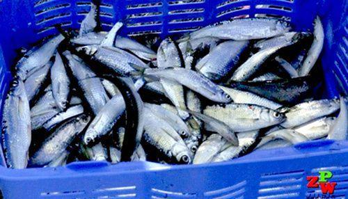 Wędzenie ryb - Ukleja