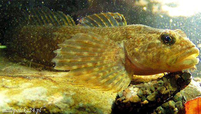 Szczekająca ryba - Głowacz (Cottus poecilopus)