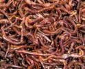 czerwone robaki
