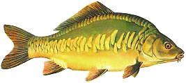 Karp-Cyprinus carpio L-Carp