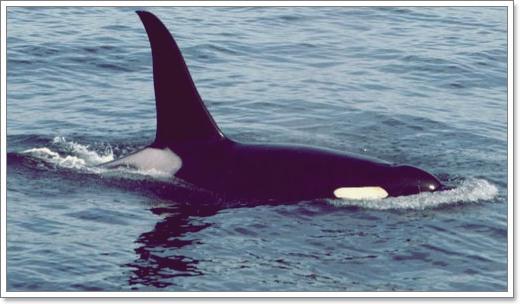 Łososie zabijają orki -